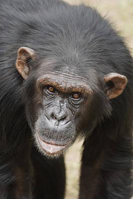 Ape Photograph - Chimpanzee Portrait Ol Pejeta by Hiroya Minakuchi