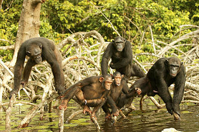 Chimpanzees On Mangroves Art Print by Jean-Michel Labat
