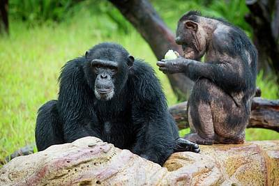 Chimpanzee Photograph - Chimpanzees by Pan Xunbin