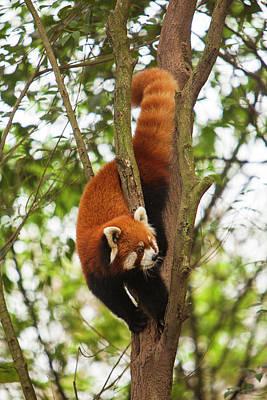 Red Panda Photograph - China, Chengdu, Wolong National Natural by Jaynes Gallery