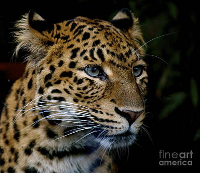 Photograph - Chinese Panther by Louise Fahy