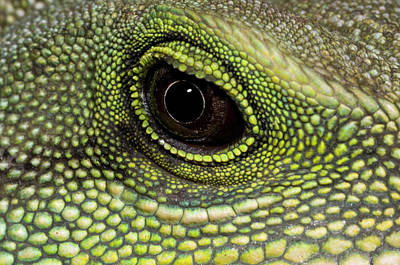 Striking Photograph - Chinese Water Dragon Eye by Nigel Downer