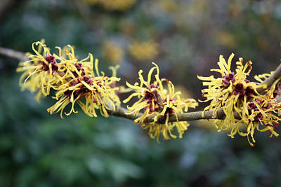Photograph - Chinese Witch Hazel by Gerry Bates