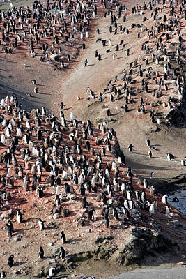 Chinstrap Penguin Colony Art Print by William Ervin/science Photo Library