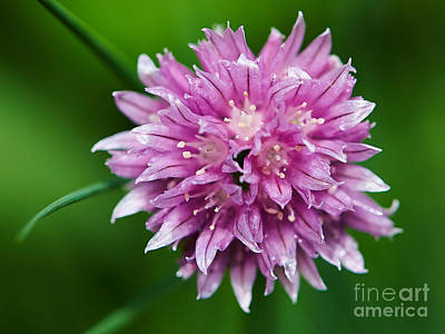 Photograph - Chive Flower by Nick  Biemans