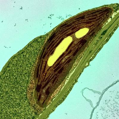 Organelle Photograph - Chloroplasts by Ami Images