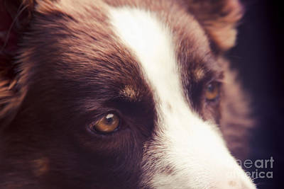 Chocolate Border Collie Art Print