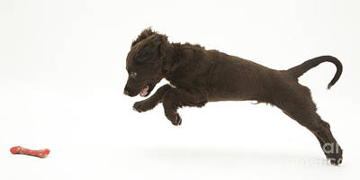 House Pet Photograph - Chocolate Cocker Spaniel Puppy by Mark Taylor