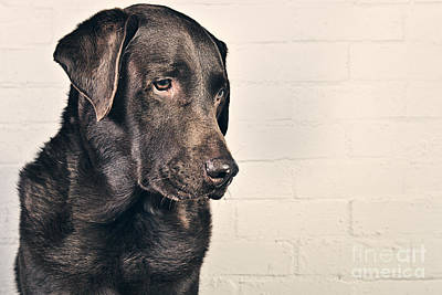 Chocolate Labrador Profile Art Print by Justin Paget