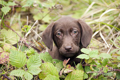 Chocolate Lab Photograph - Chocolate Labrador Puppy by John Daniels