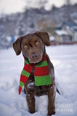 Dog In Snow Photograph - Chocolate Labrador Retriever by Rolf Kopfle