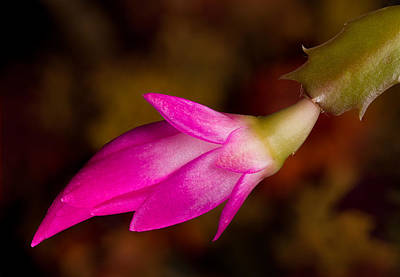 Christmas Cactus Flower  Art Print by Steven Heap