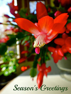 Photograph - Christmas Cactus by Jean Wright