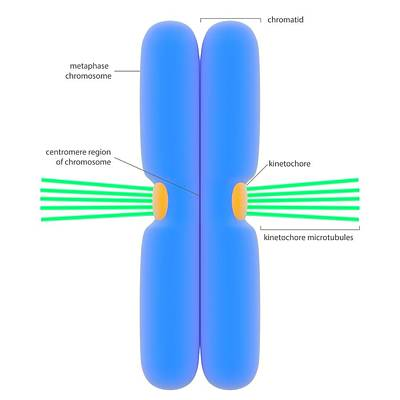 Chromosome And Microtubules Art Print by Science Photo Library