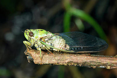 Ecuadorean Fauna Photograph - Cicada by Dr Morley Read