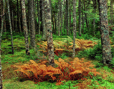 Maine Nature Photograph - Cinnamon Ferns And Red Spruce Trees by Panoramic Images