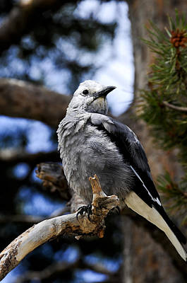 Photograph - Clark's Nutcracker by Bonnie Fink