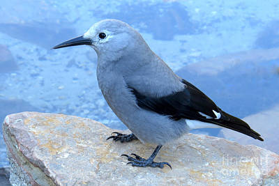 Photograph - Clark's Nutcracker by Frank Townsley