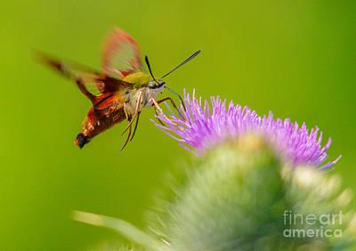 Photograph - Clearwing Hummingbird Moth by Cheryl Baxter