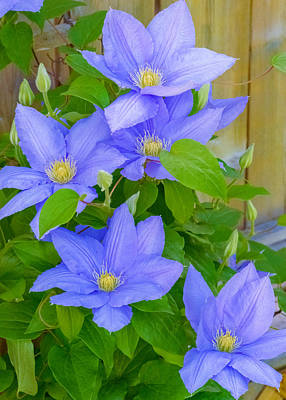 Summer Photograph - Clematis  by Garvin Hunter