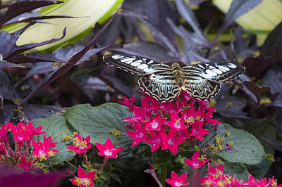Photograph - Clipper Butterfly by Jack R Perry