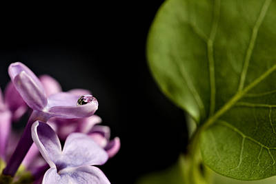 Miles Davis - Close up Lilac by Mark Duffy