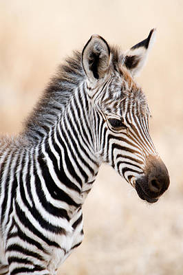 Close-up Of A Burchells Zebra Equus Art Print