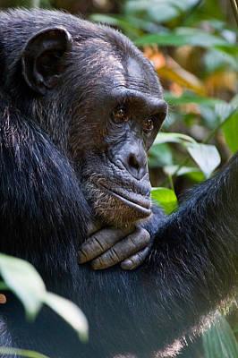 Close-up Of A Chimpanzee Pan Art Print