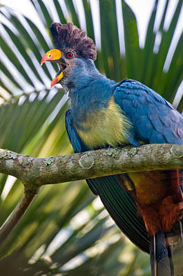 Uganda Photograph - Close-up Of A Great Blue Turaco by Panoramic Images