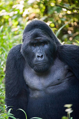 Uganda Wall Art - Photograph - Close-up Of A Mountain Gorilla Gorilla by Panoramic Images