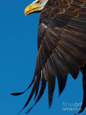 Art Print featuring the photograph Close-up Of An American Bald Eagle In Flight by Nick  Biemans