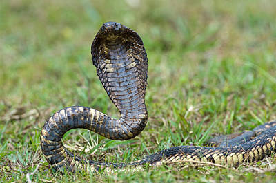 Uganda Photograph - Close-up Of An Egyptian Cobra Heloderma by Panoramic Images
