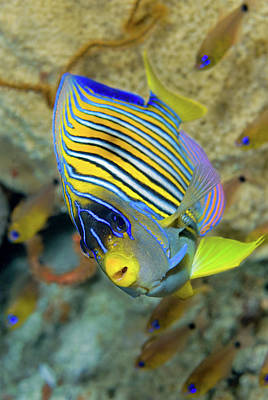 Angelfish Photograph - Close-up Of Angelfish (pterophyllum by Jaynes Gallery