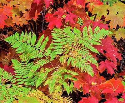 Close-up Of Autumn Leaves, Keweenaw Art Print