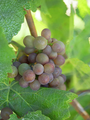 Grape Leaves Photograph - Close-up Of Chardonnay Grapes by Panoramic Images