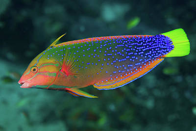 Undersea Photograph - Close-up Of Colorful Wrasse (labridae by Jaynes Gallery