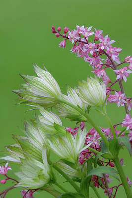 Astrantia Photograph - Close-up Of Pink Heucherella And Green by Jaynes Gallery