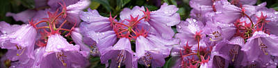 Flower In Rain Wall Art - Photograph - Close-up Of Raindrops On Rhododendron by Panoramic Images