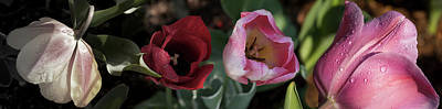 Close-up Of Raindrops On Tulip Flowers Art Print by Panoramic Images