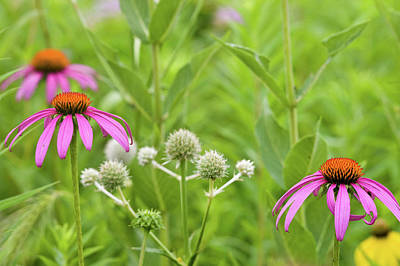 Close-up Of Various Coneflowers Art Print by Panoramic Images