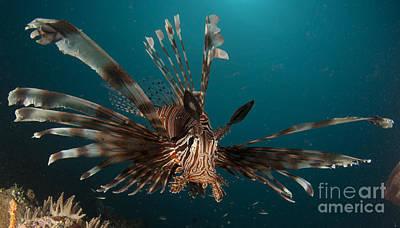 Close-up View Of A Lionfish. Gorontalo Art Print by Steve Jones