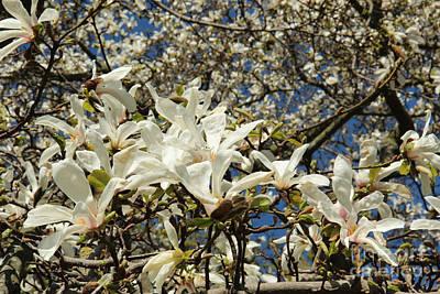 Magnolia Photograph - Closeup Of White Magnolia Flowers by Kerstin Ivarsson