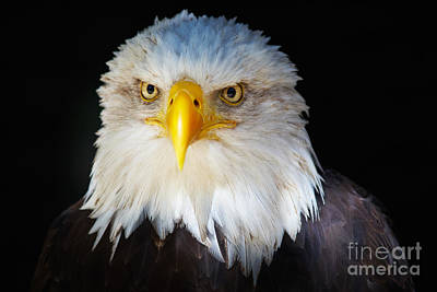 Closeup Portrait Of An American Bald Eagle Art Print