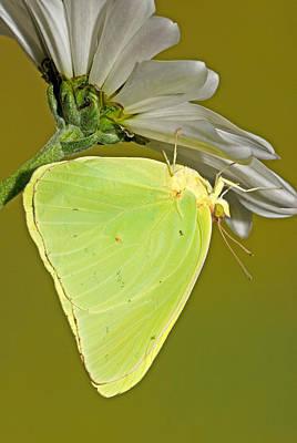 Photograph - Cloudless Sulphur Butterfly by Millard H Sharp