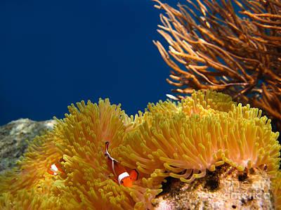 Clown Fish Photograph - Clownfish In Coral Garden  by Fototrav Print