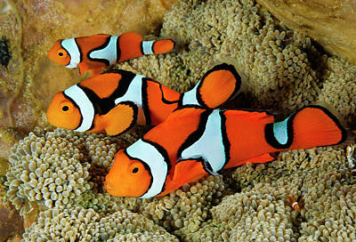 Clownfish Rest Inside Their Host Art Print by David Doubilet