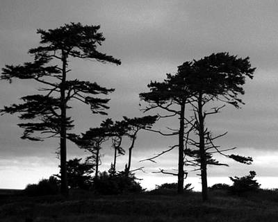 Photograph - Coastal Pines by Timothy Bulone