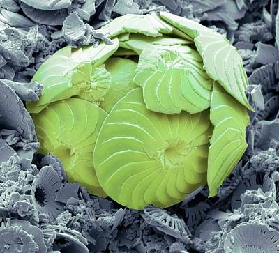 False-colored Photograph - Coccolithophore Shell by Steve Gschmeissner