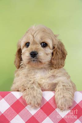 Cockapoo Puppy Dog Art Print