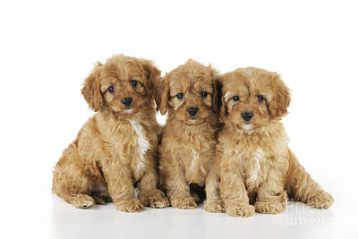 Cocker Spaniel Wall Art - Photograph - Cockapoo Puppy Dogs by John Daniels